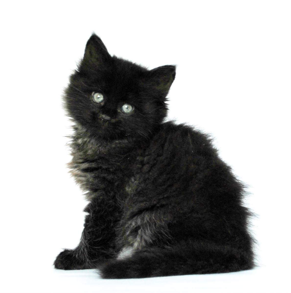 картинки сибирских котов черного окраса камень желтого