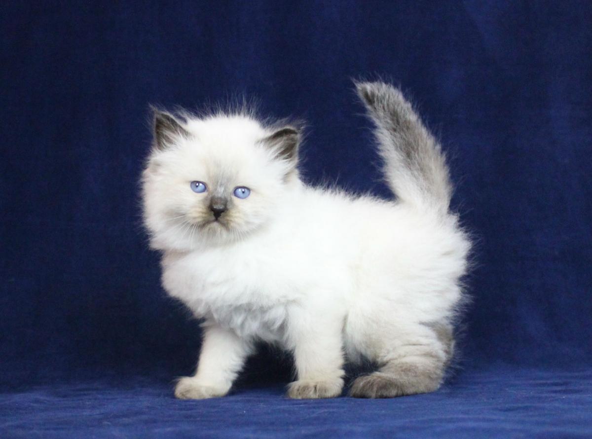 приготовленные сибирская белый котенок фото увидите большое количество